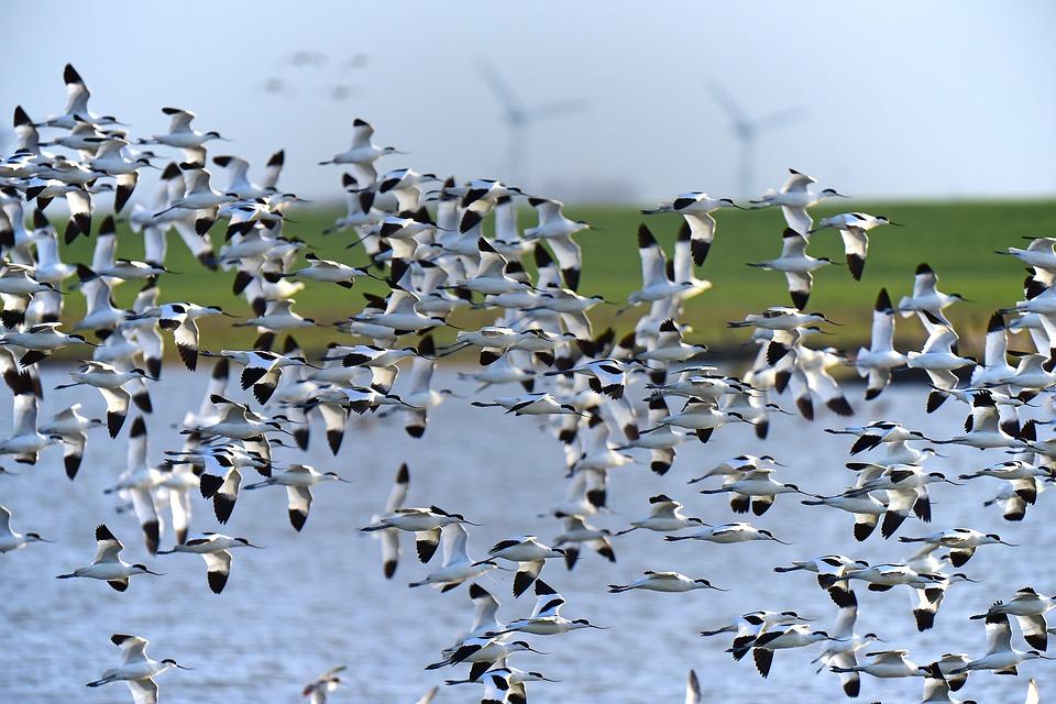 Ocells migrant