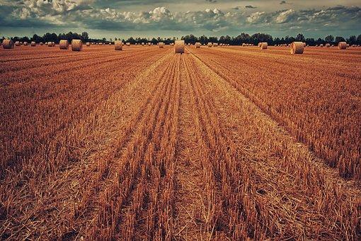 Un camp segat de blat amb bales de palla