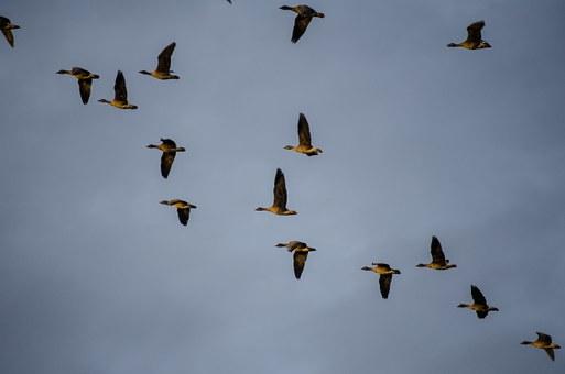 Conjunt d'ocells volant (migració)