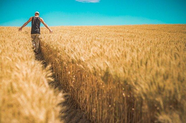 Un agricultor passeja per un camp de blat