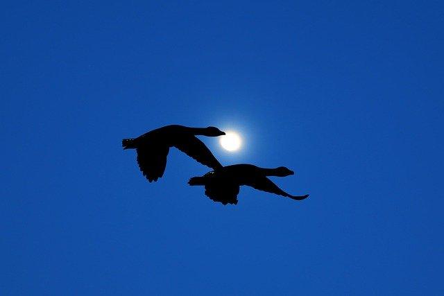 Dues aus migrant en el cel enfosquit i la lluna de fons