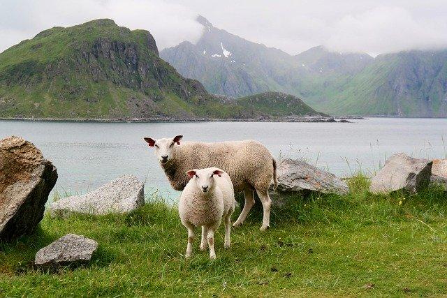 Ovelles pasturants prop d'un riu
