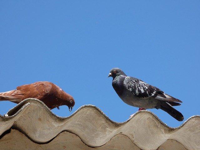 Dos coloms sobre un sostre d'uralita